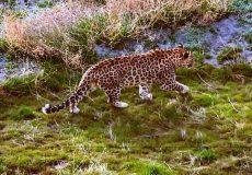 زندگی یک قلاده پلنگ ایرانی در جزیره اشک پارک ملی دریاچه اورمیه