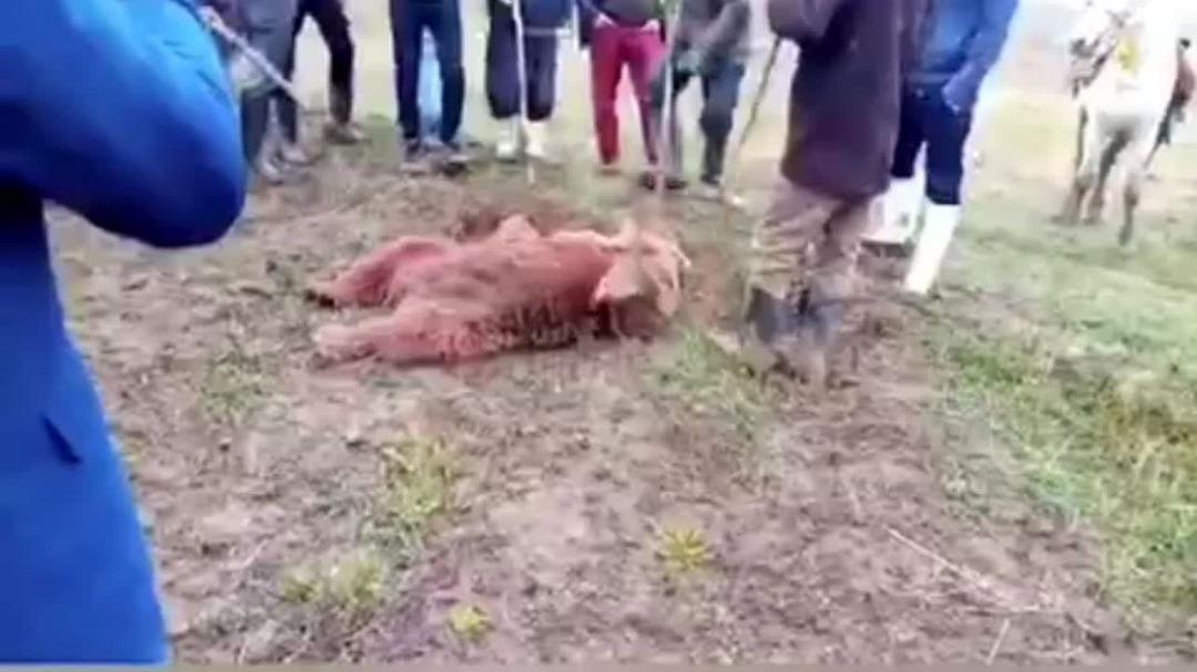 محکومیت شکارچی خرس به اقامت اجباری و حبس تعزیری